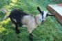 Body Condition Scoring for dairy goats.