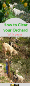 Clearing with goats