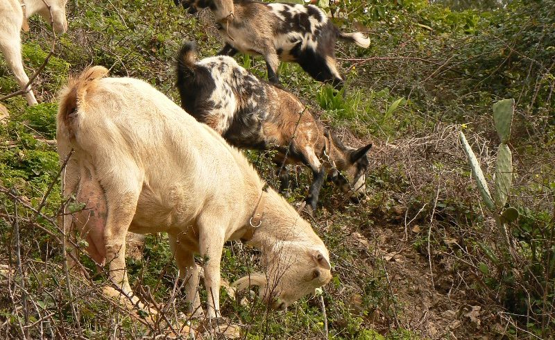Clearing land with goats