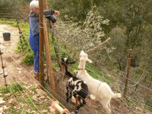 land clearing - goats