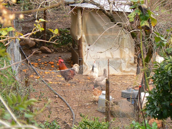 Prepare your vegetable garden with chickens