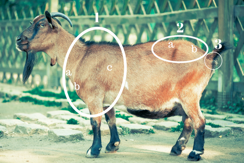 Goat for BCS