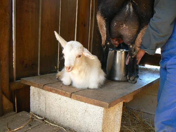 Emma goat