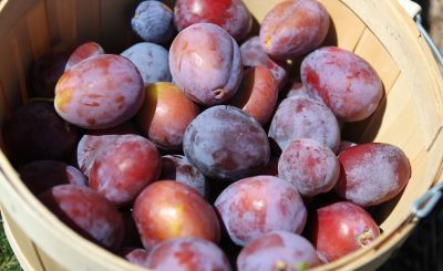 Plums for Steam Juicer