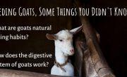 Feeding goats 1