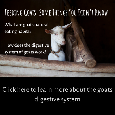what do goats eat and how their digestive system works